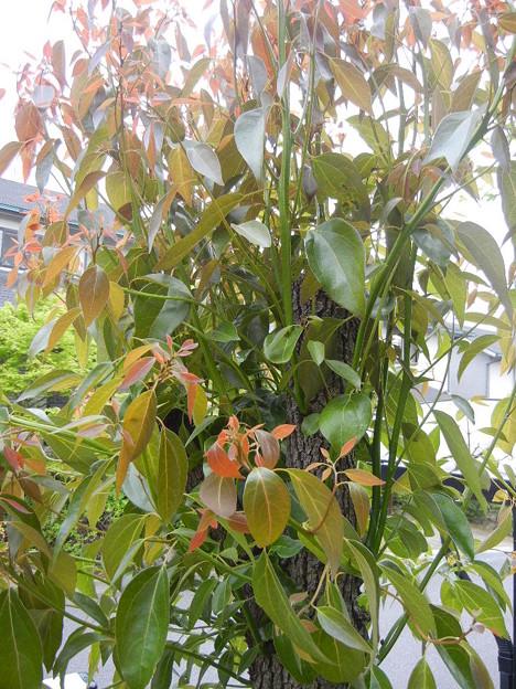 剪定した木から新芽がニョキニョキ
