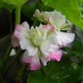 Photos: 八重咲きゼラニウム アップルブロッサム