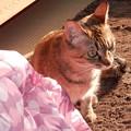 Photos: 預かり猫 メルシー嬢