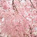 写真: 桜~満開です……?
