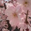 写真: 枝垂れ桜……?