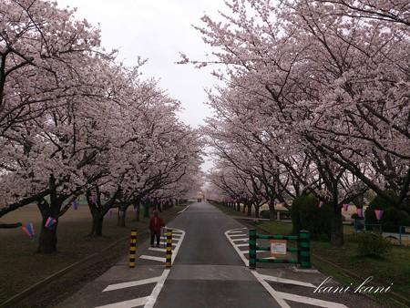 2013/3/31の桜 (渡良瀬遊水池)