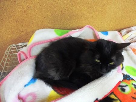 ケージ上の毛布で寝ようとしていたルビー