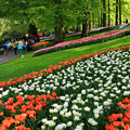 Photos: (オランダ)本場チューリップ、キューケンホフ公園で。。