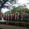 写真: 散歩先の公園にこいのぼりの大群が!
