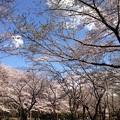 写真: 近くの公園の桜です1