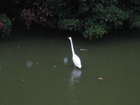 大仙陵古墳の白鳥1