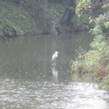 写真: 大仙陵古墳の黒鳥3