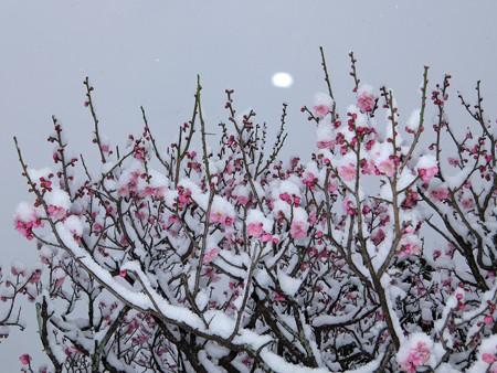 20140211-3 梅林雪景色