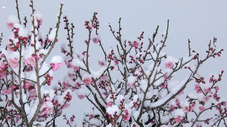 20140211-4 梅林雪景色