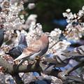 写真: 桜の中にたたずむ桜色の鳩