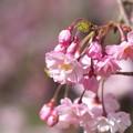 写真: 桜ふわふわ