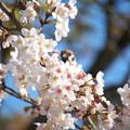 写真: 桜に隠れて様子をうかがうスズメ