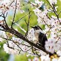 Photos: 桜の中の癒し