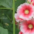 ヒビスカス white&pink