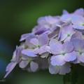 Purple Hydrangea flower of June.