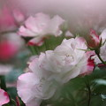 前暈けの薔薇 09
