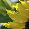 yellow sun II