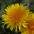 写真: タンポポの花~マクロ