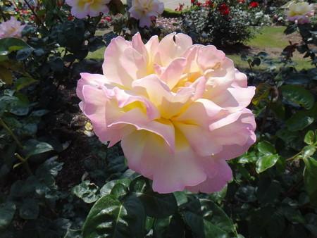 13 ハスの花みたいな薔薇