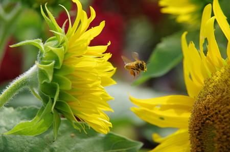 向日葵と蜜蜂 (2)