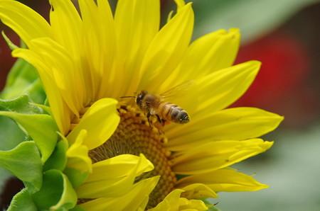 向日葵と蜜蜂(3)