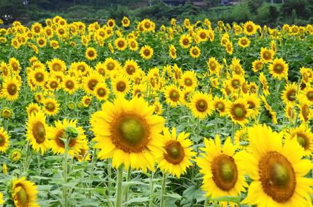 夏向日葵 (3)