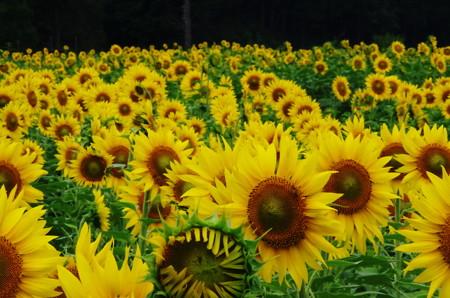 夏向日葵 (2)