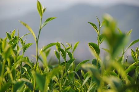 茶畑の緑が綺麗 (3)