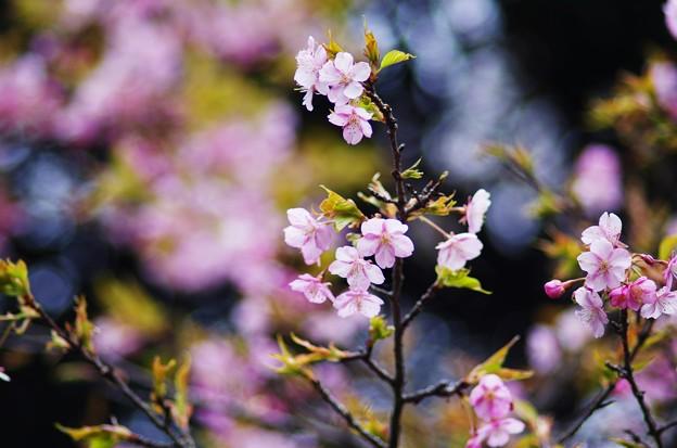 玉縄桜 2014.2.23 #2