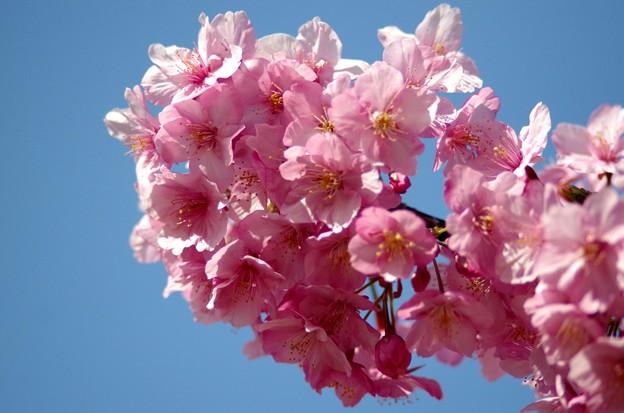 一本桜 #6