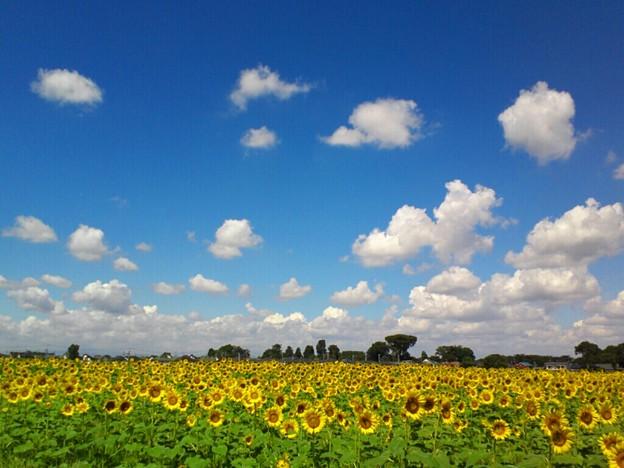 ひまわり畑~♪ - 写真共有 ...