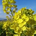 写真: 菜の花畑に~♪