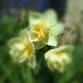 写真: 八重咲水仙