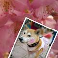Photos: 桜色に染まっちゃったワン♪