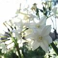 春の陽射しに透けて