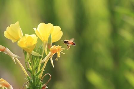 2012.08.28 和泉川 アレチマツヨイグサにミツバチ