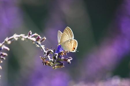 2012.10.15 和泉川 ブルーサルビアにミツバチにウラナミシジミ