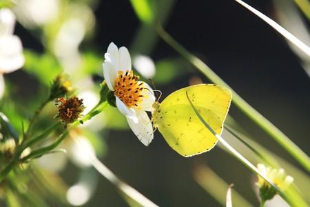 2012.10.21 和泉川 ウインターコスモスにキチョウ