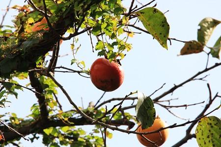2012.10.23 和泉川 農家の庭に柿