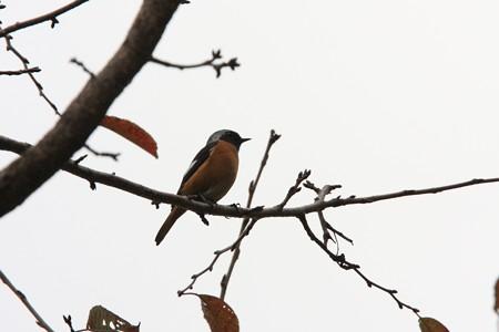 2012.11.05 和泉川 桜にジョウビタキ