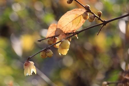2013.01.09 和泉川 ロウバイ