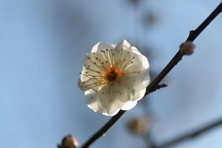 2013.02.07 和泉川 ウメ