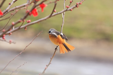 2013.02.09 和泉川 ボケにジョウビタキ フワ