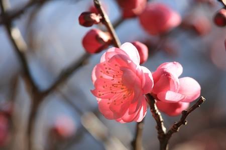 2013.02.10 大池公園 コウバイ
