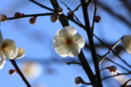 2013.02.13 和泉川 ウメ