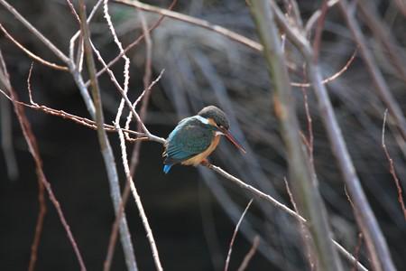 2013.02.25 和泉川 ヤナギでカワセミ