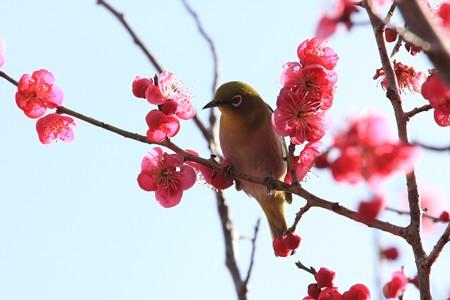 2013.02.28 和泉川 コウバイとメジロ