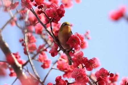 2013.02.28 和泉川 コウバイにメジロ 記念撮影