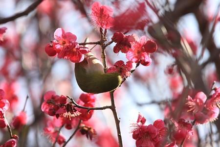 2013.02.28 和泉川 コウバイにメジロ 紅色